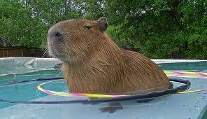 Funny Capybara