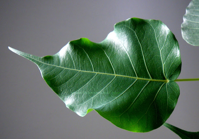 Ficus Religiosa  (Boo tree)  huge leaf heart shaped