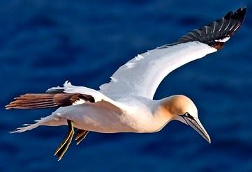 Alcatraz volando