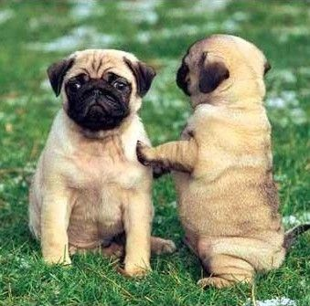 Cute Beautiful Pug Puppy