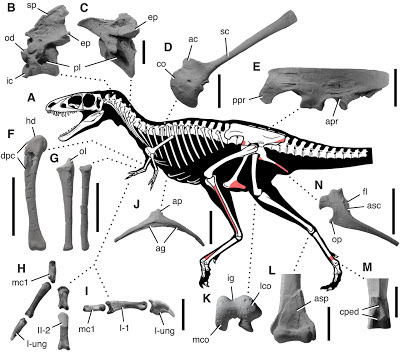 Raptorex skeleton