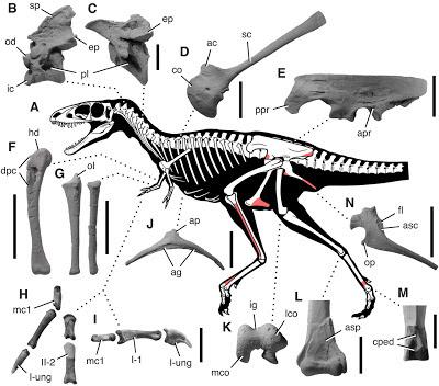 Raptorex skeleton