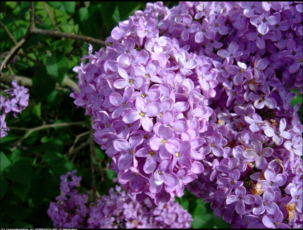 flowers for flower lovers.: Lilac flowers.