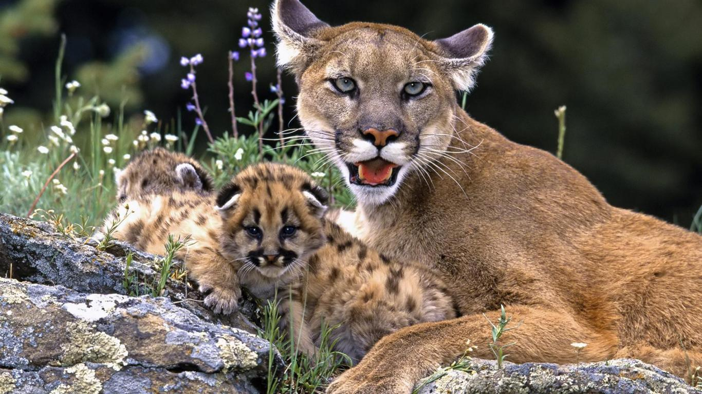 African mountain animals - Mountain Lions With Cubs Resting The Most Endangered Lions In Usa