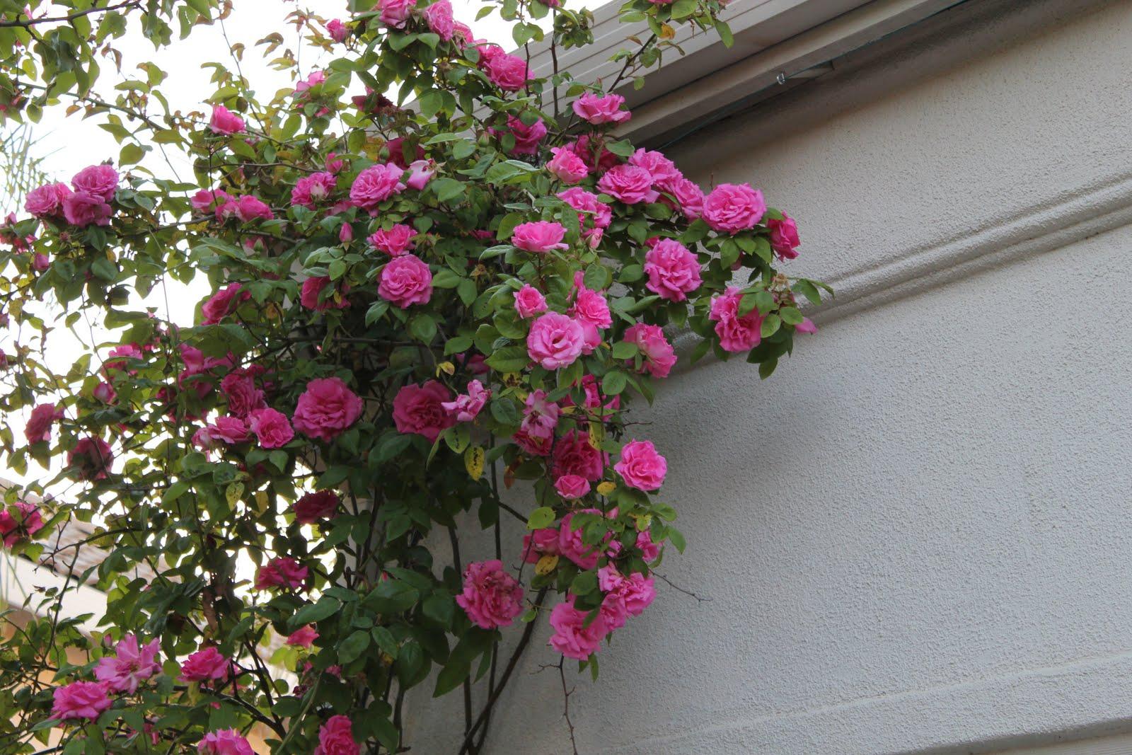 mastering horticulture vibrant pink 39 zephirine drouhin 39. Black Bedroom Furniture Sets. Home Design Ideas