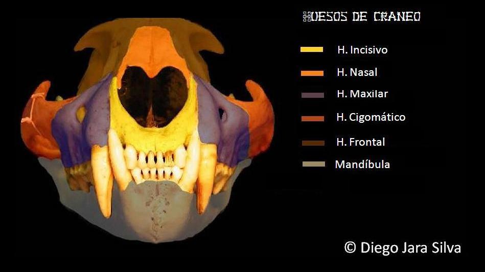 medicina veterinaria: cat skull bone / huesos del cráneo felino