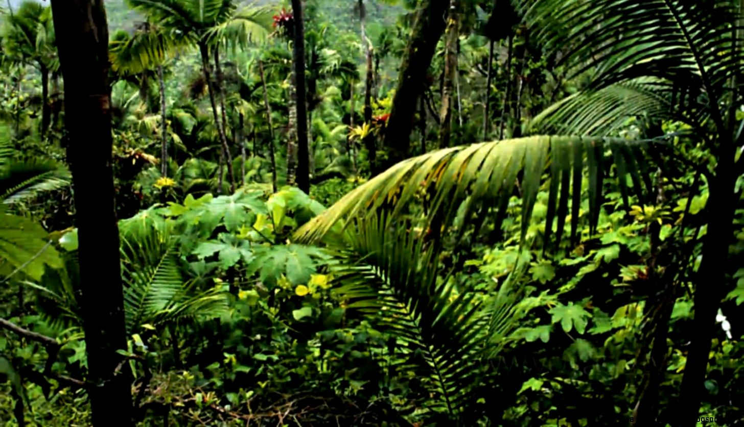 Amazon Rainforest Trees   wallpaper