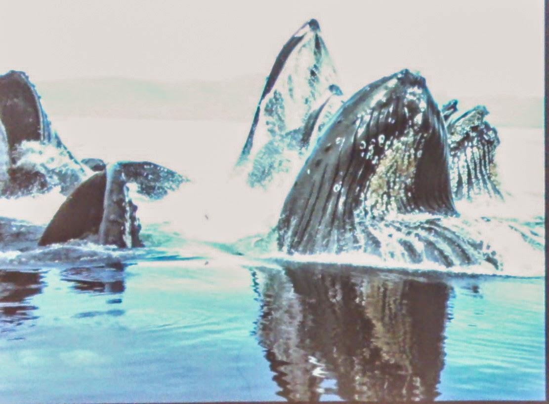 アラスカ、観光、ホエールウォッチング、バブルネットフィーディング、ザトウクジラ、くじら、餌