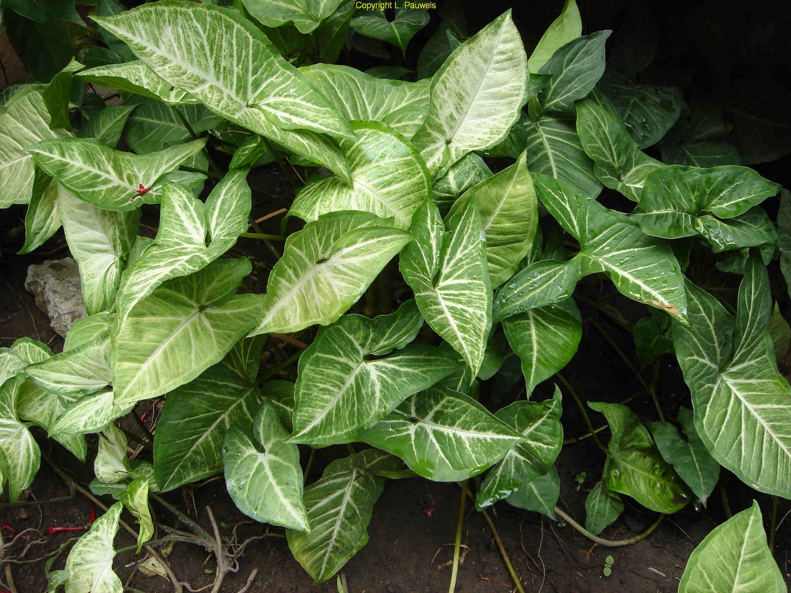 Arrowhead Plant   Flow...