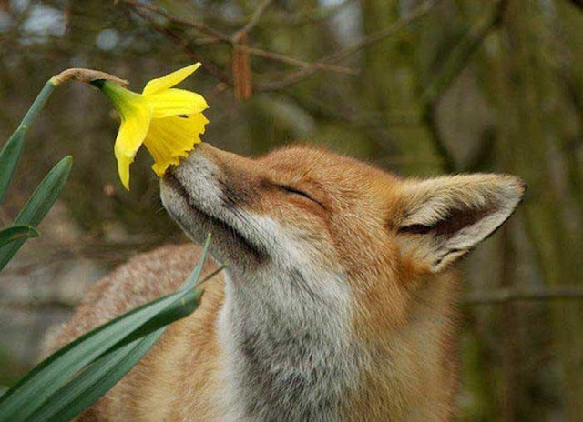 http://3.bp.blogspot.com/-gtVwlz2itYo/UIk1u0xMNZI/AAAAAAAA0LE/QoJcesyM67M/s400/Fox%2Bsniffs%2Bdaffodil.jpg