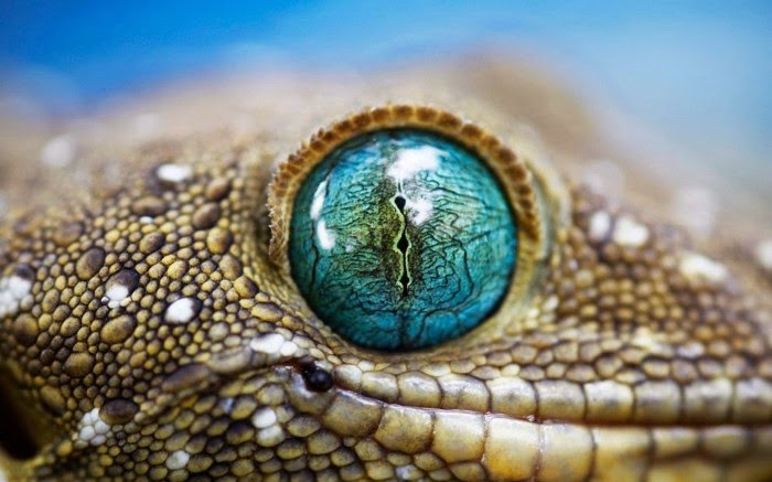 This is the close up of a lizard eye.