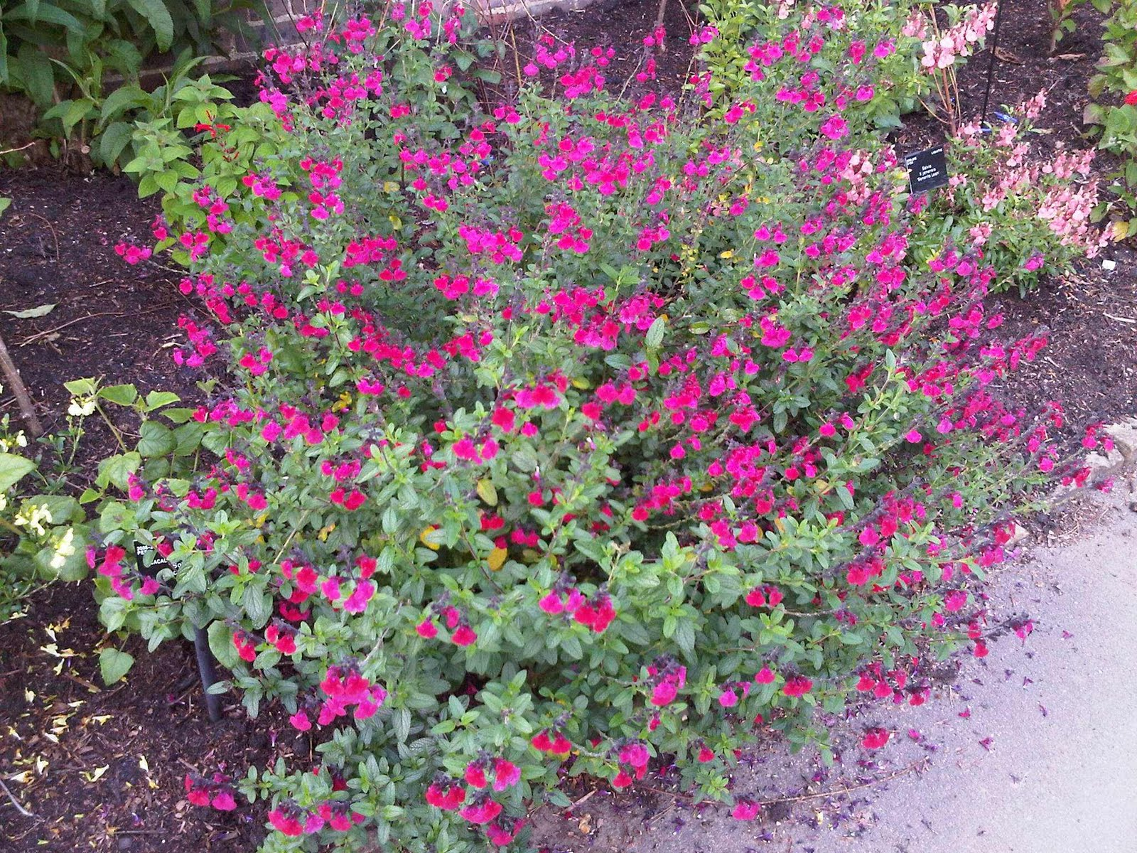 Talking Plants: Salvia salvo and salve