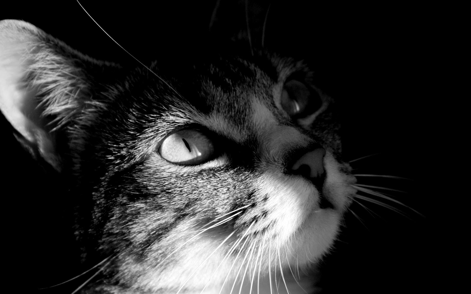 http://3.bp.blogspot.com/-gtykRtuputw/T8cGwqt671I/AAAAAAAAA1Q/LG2zOh2Yutk/s1600/cat-hd-wallpaper.jpg