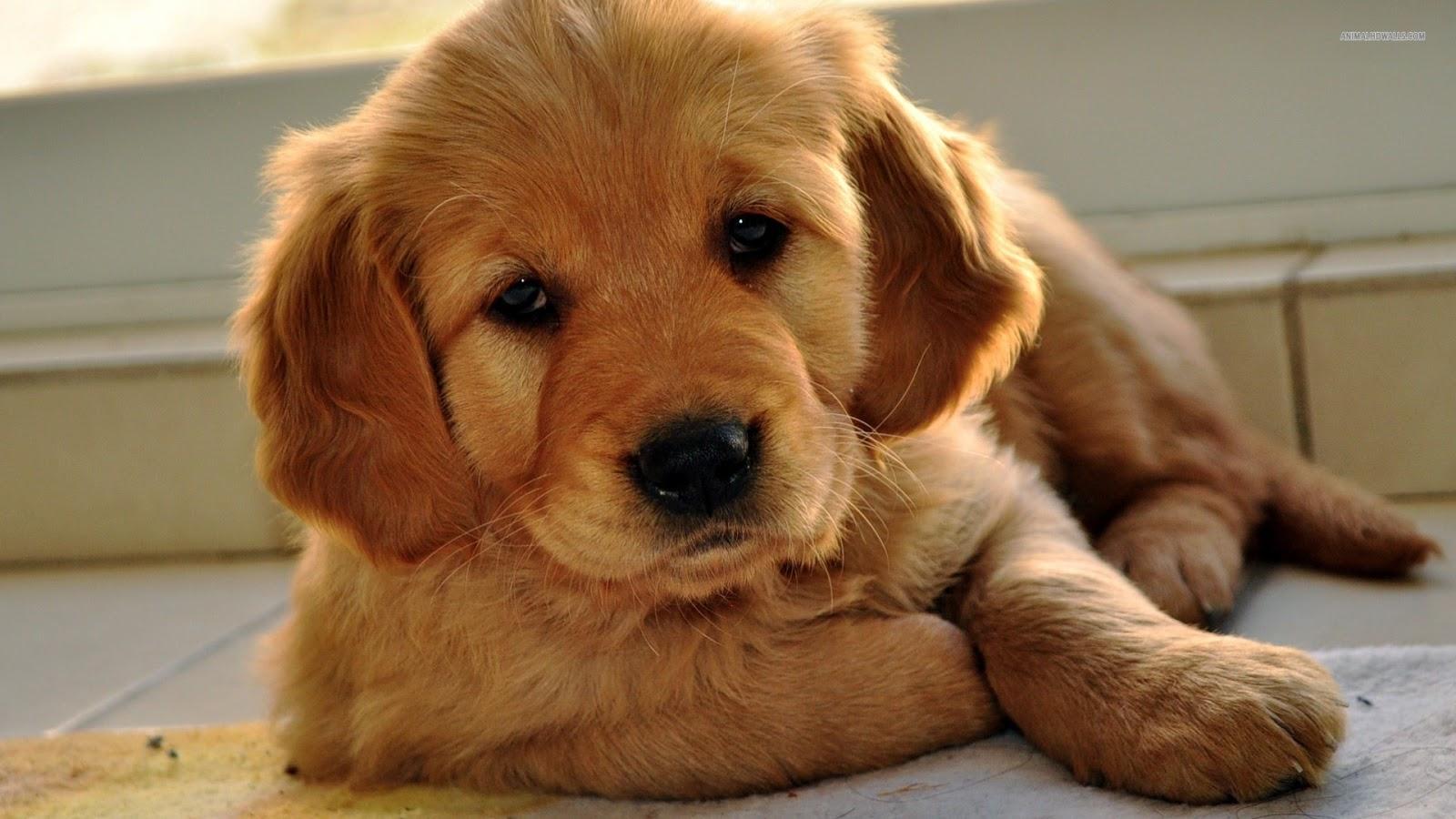 Cute Golden Retriever Dog/Puppy
