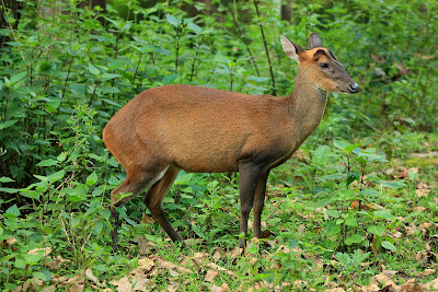 A barking deer in the jungles of K.Gudi inside BRT tiger reserve