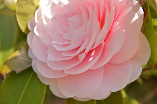 Formal double camellia growing in Japan