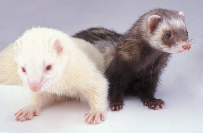 Ferret | Animal Wildlife