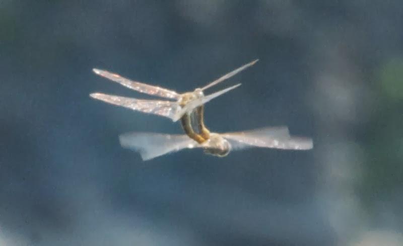 Baskettail (Epitheca sp)