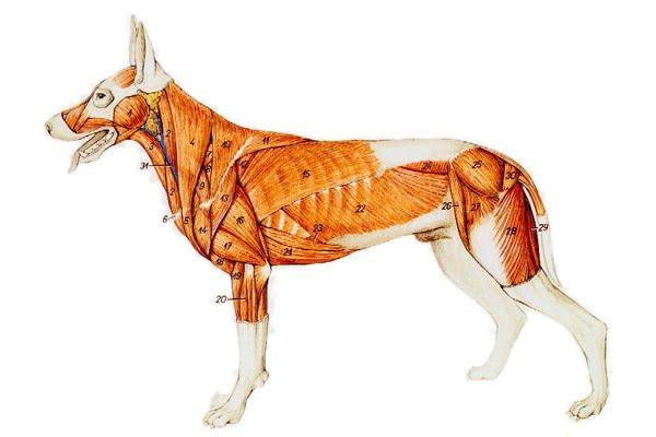 external image perro-musculos.jpg