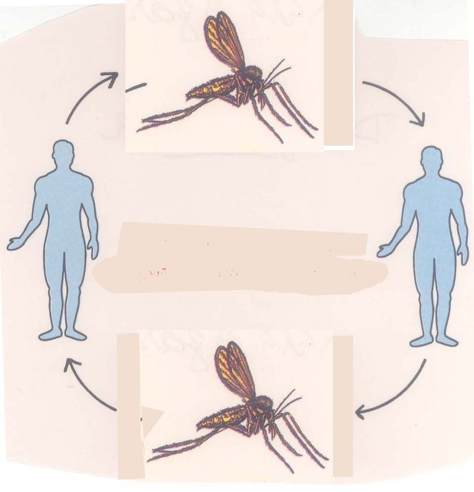a clinical description of the zoonotic disease malaria Clinical case definitions and malaria vaccine striking for diseases such as malaria the clinical case definition of malaria on estimates of the.