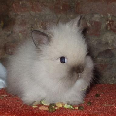 lionhead rabbit the life of animals