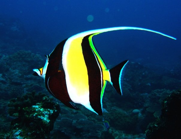 Tame the wet and wild 7 saltwater fishes you should never for Moorish idol fish