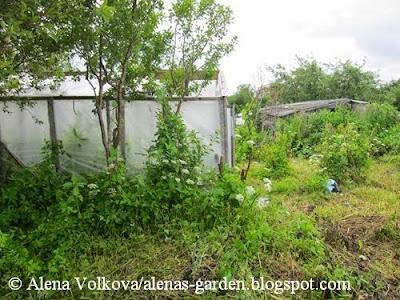 теплица, останки теплицы, сорняки, сныть, вьюнок, Аленин сад, часть 1, целина, участок до, освоение участка