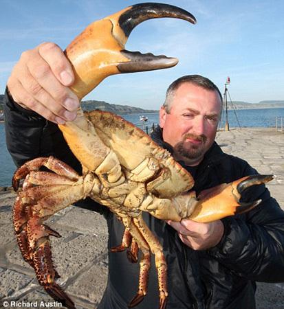 澳洲巨無霸螃蟹2