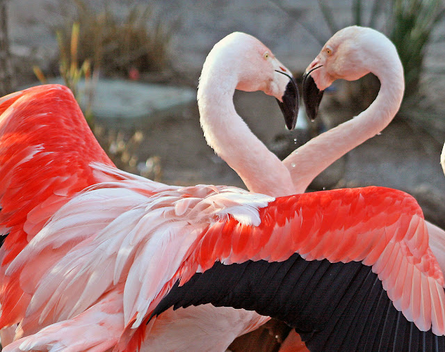 Flamingo Birds Wallpapers