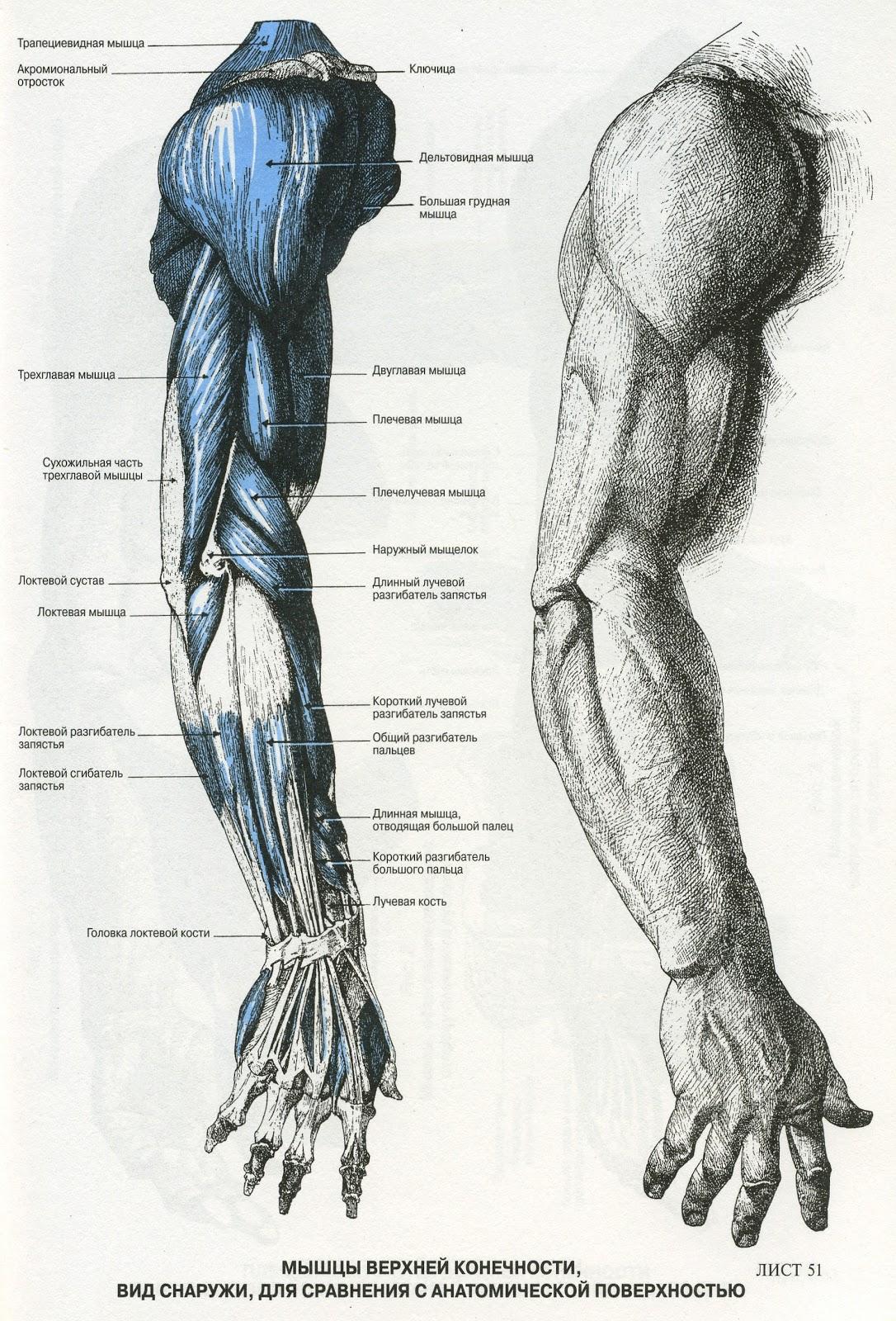 Анатомия мышц рисунок