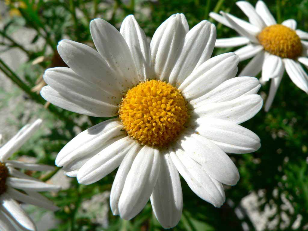 beautiful flower nature scenery wallpapers - Daisy flower background ...