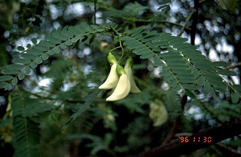 hidup ini indah quot khasiat manfaat tanaman turi quot