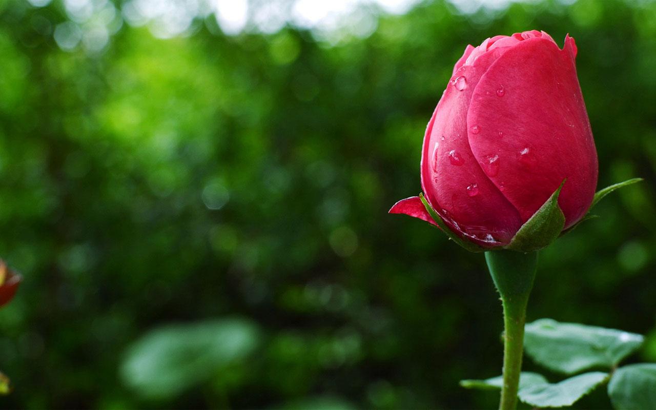 Beautiful Rose Hd Desktop Image