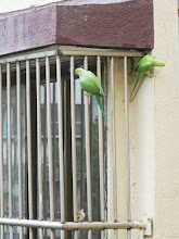 "Resident pair of wild ""Rose-ringed Parakeets"""