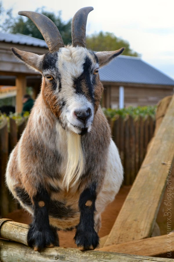 Goat at colchester zoo @ ups and downs, smiles and frowns