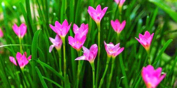 Jual bunga lili air hujan | bakung air mancur | aneka tanaman hias | supliier tanaman | jasa desain taman