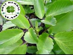 manfaat dan khasiat daun cocor bebek