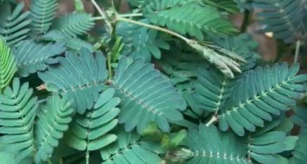 Was macht eine Mimose? Wir haben ein Video!
