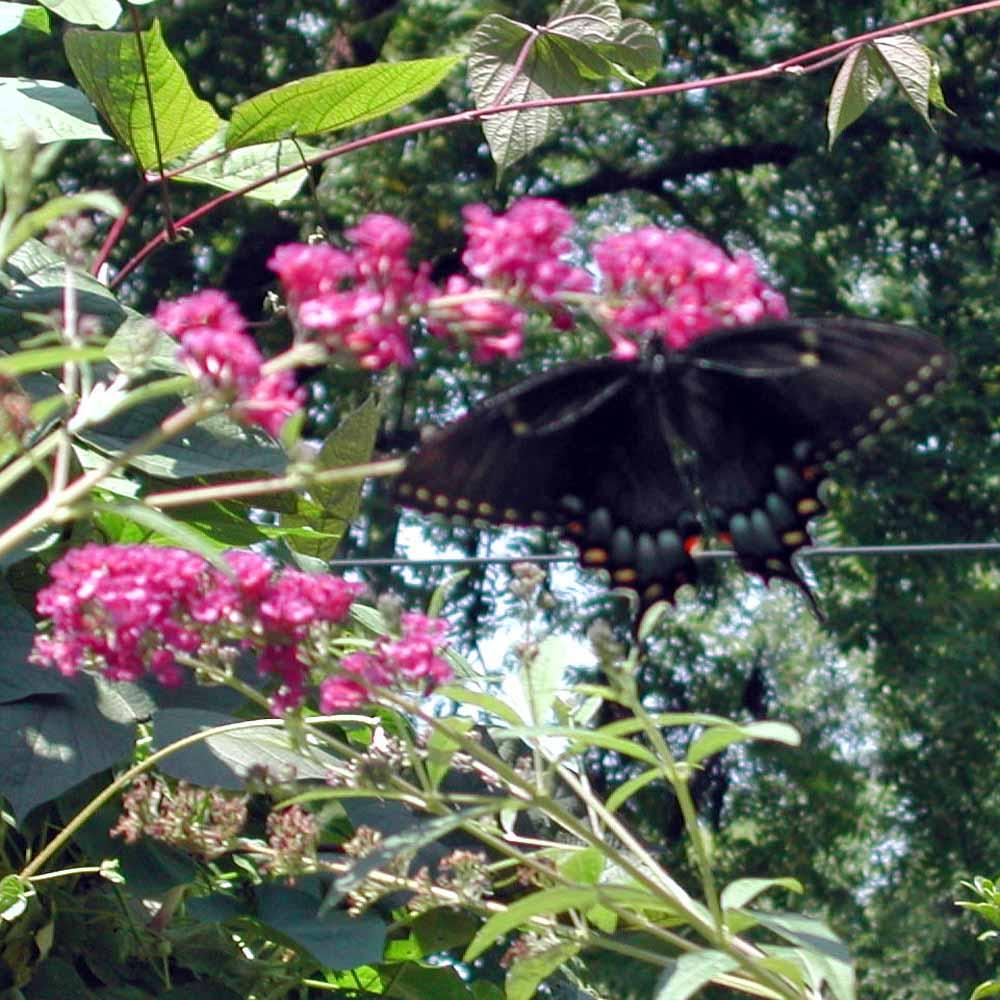 Twilight In The Garden Attracting Butterflies And Hummingbirds