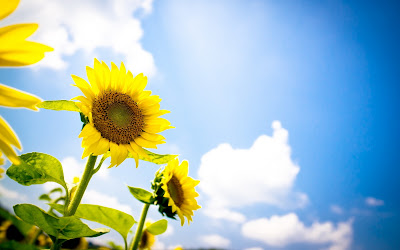 Sunflowers and Beautiful Blue Sky and Clouds HD Wallpaper