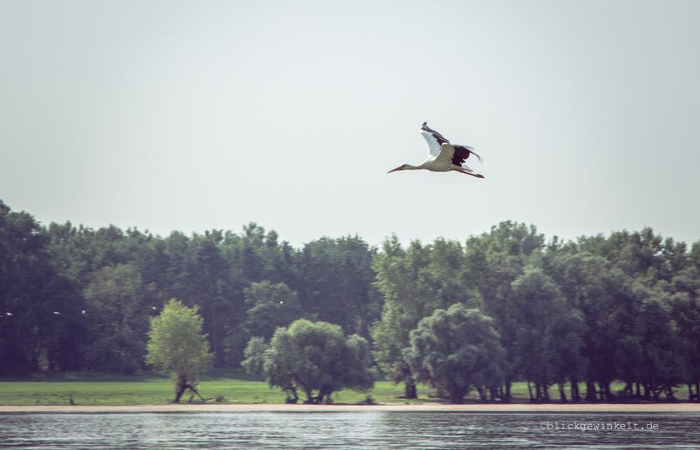 Storch an der Elbe