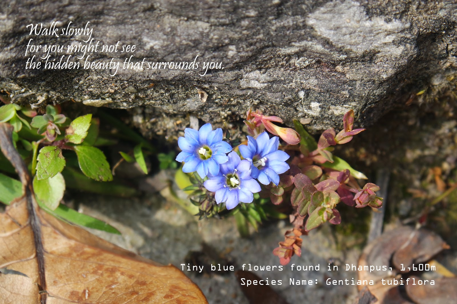 Gentle creation flora of nepal my most precious capture the blue gentian very tiny that if you dont really look down you wont find it this is the reward of my slow climb up dhampus izmirmasajfo