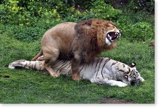 Liger - a cross between a male lion and female tiger. A liger is