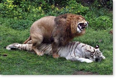 IMPREZZME: Hybid Animals 1 : Liger and Tigon | 400 x 272 jpeg 55kB