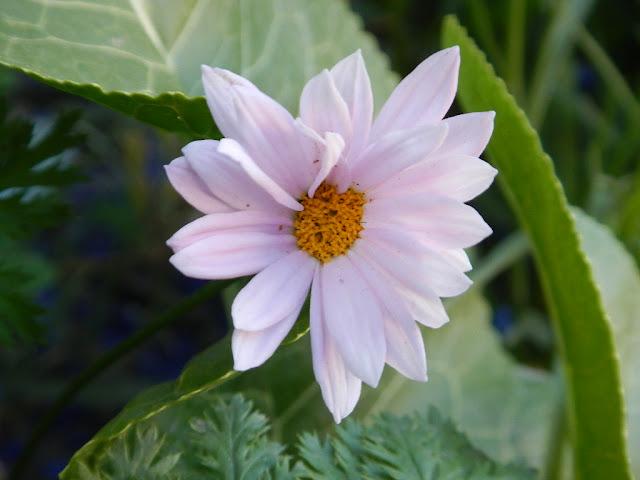 aster wild flower montana perennial garden