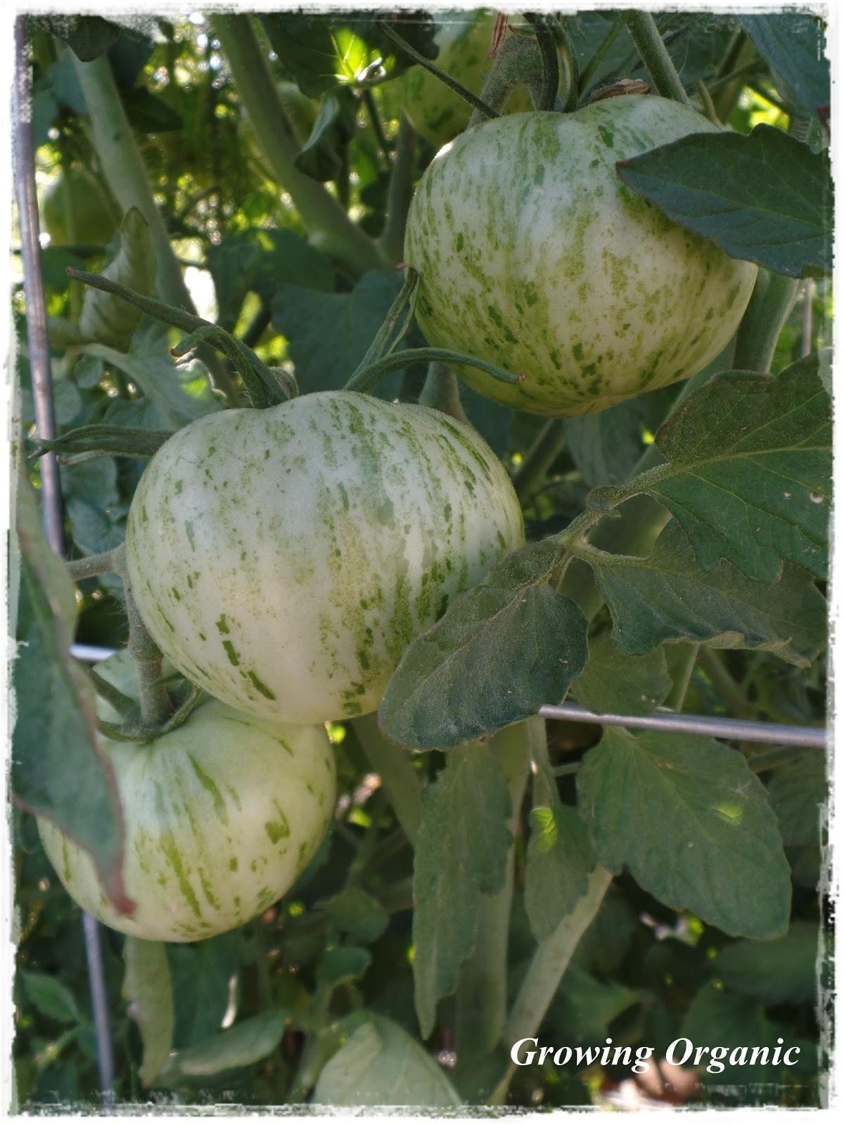 growing organic ripening green tomatoes indoors