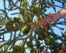 Castanhas da araucária