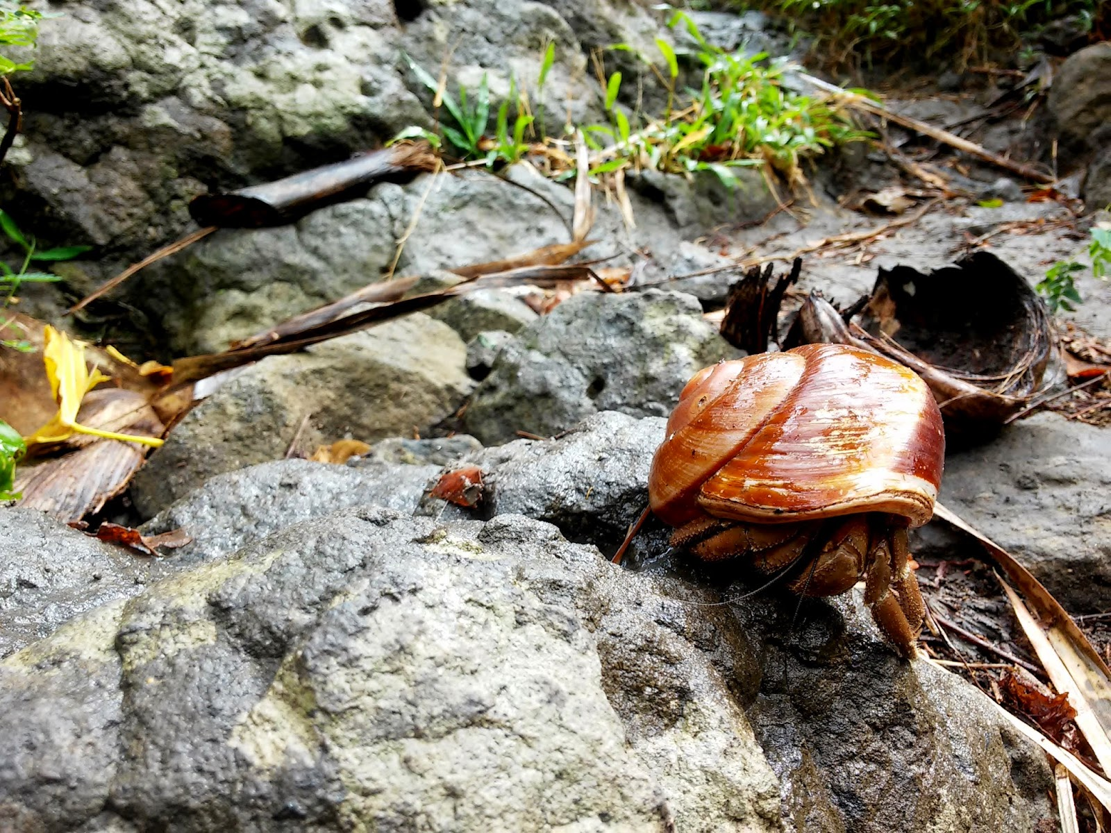 Hermit crab in Naambon Falls Trail
