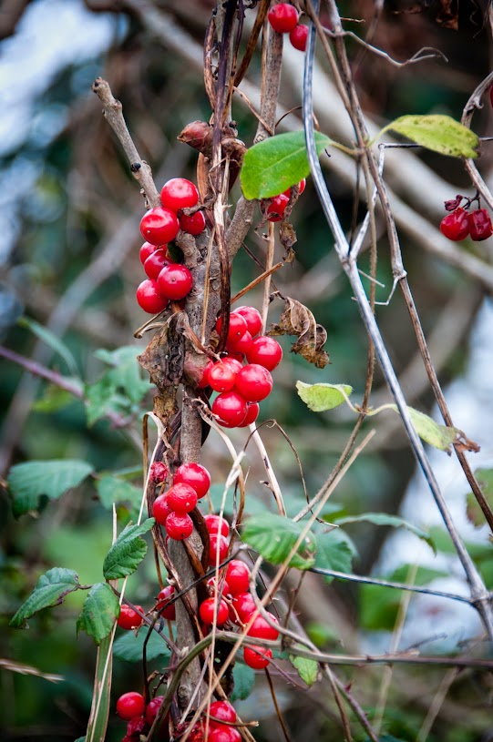 Red Berries in Cornwall