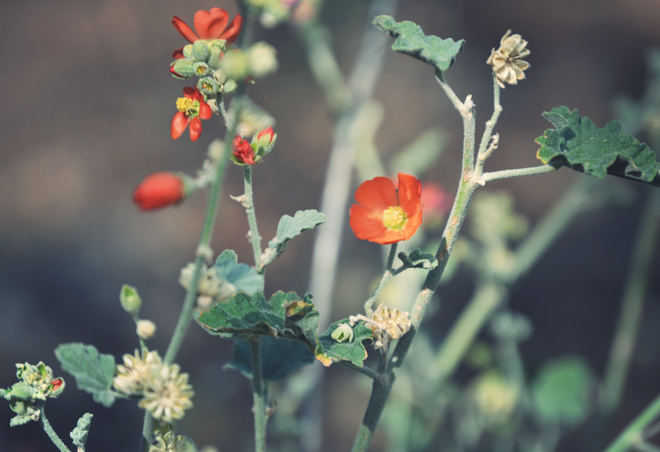 The Flying Clubhouse: Grand Canyon I, globe mallow